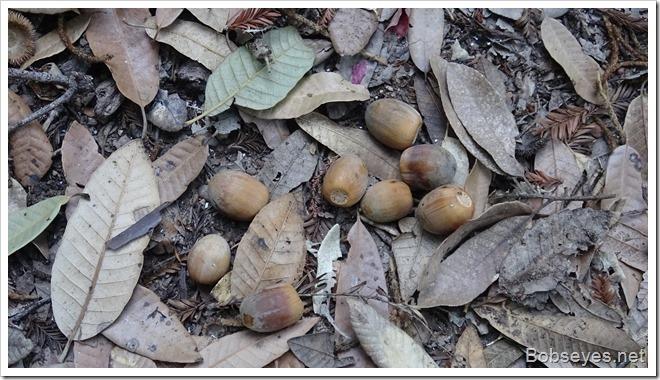 acorns_thumb1