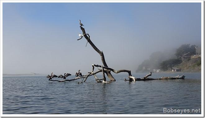 cormorants12