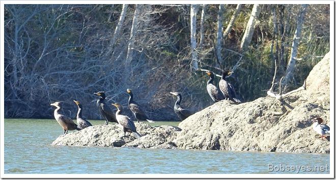 cormorants 12