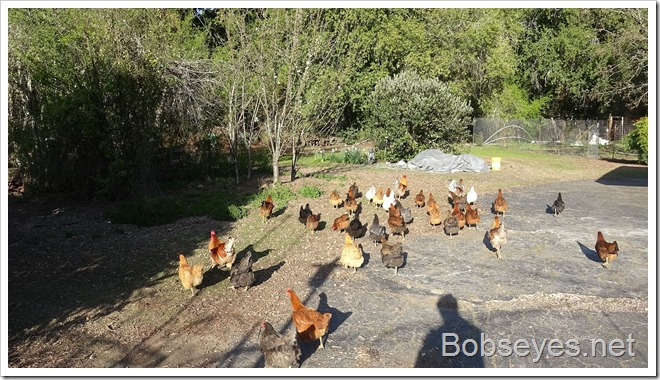 chickens7