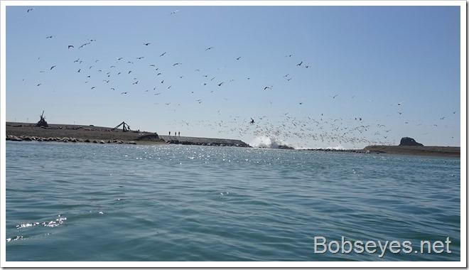 gulls13