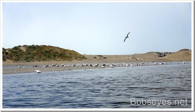gulls4