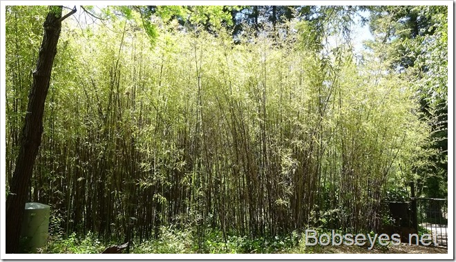 bamboo6