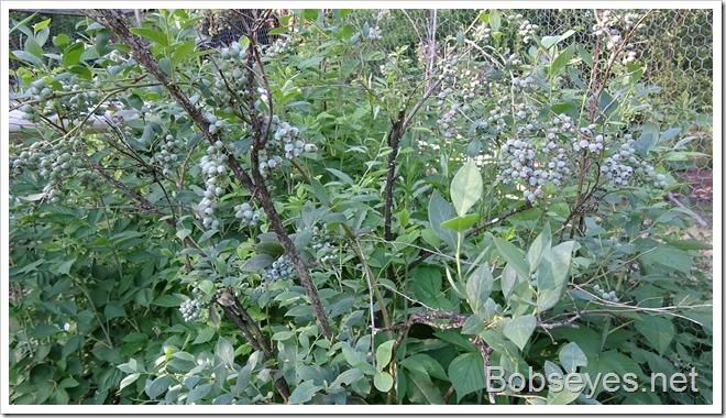 blueberries10