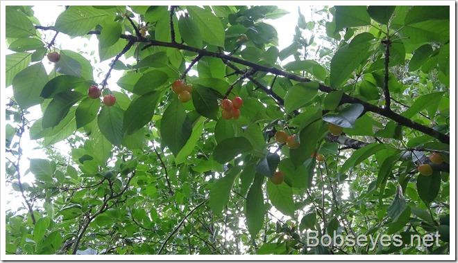 cherries7