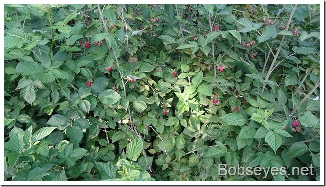 raspberries6