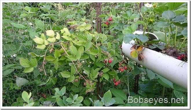 raspberries8