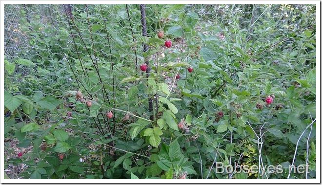 raspberries9
