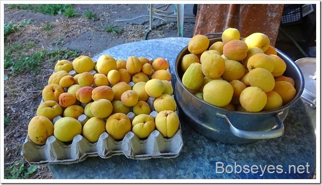apricots10
