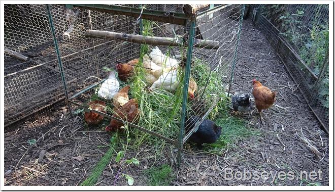 chickens14