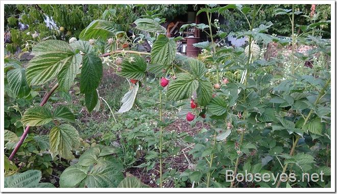 paspberries12