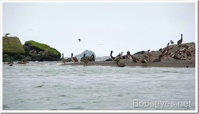 pelicans6