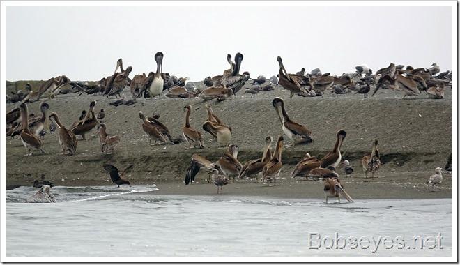 pelicans8